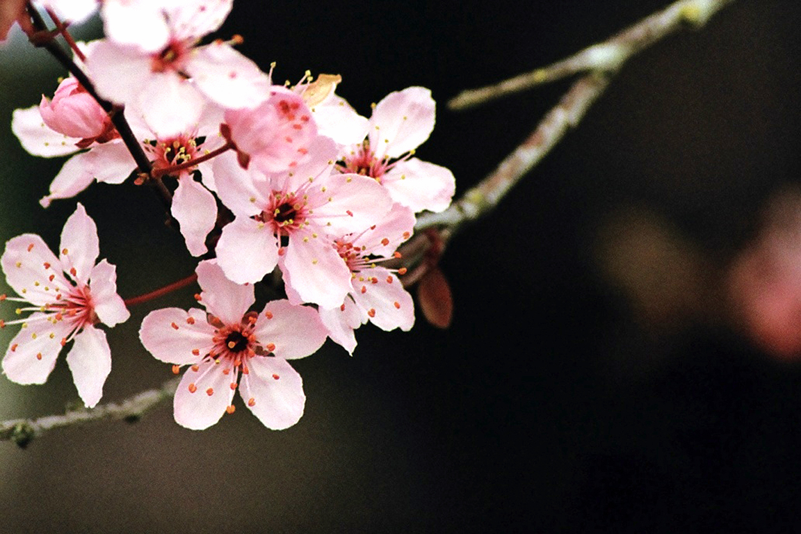 http://3.bp.blogspot.com/-e7WwgH8aMrE/TzAa22sPSqI/AAAAAAAAApY/FcEVsiFtkfk/s1600/Cherry_Blossom_Wallpaper_by_SchrodingersCat19.jpg