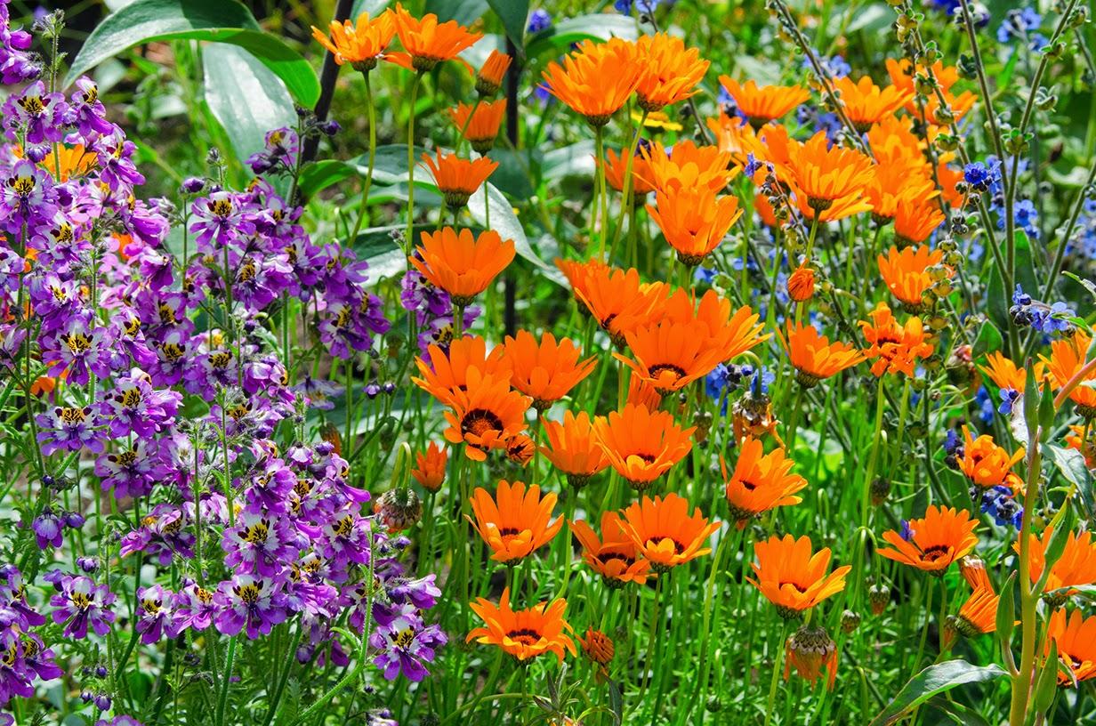Схизантус выращивание дома 9