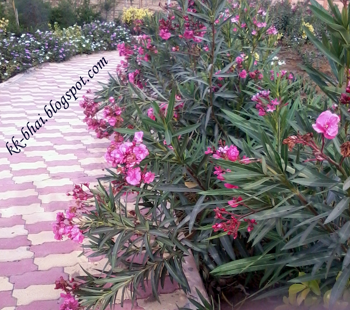 Puja flowers and other things used in puja hindu worship nerium oleander izmirmasajfo