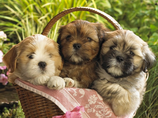 Cute Shih Tzu Puppies Backgrounds widescreen wallpaper