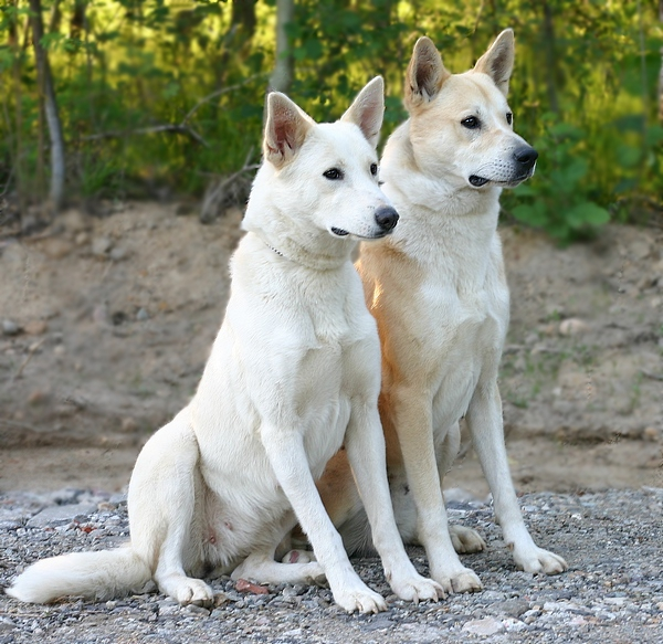 About Canaan Dog: Is Your Canaan Dog Potty Trained Enough?