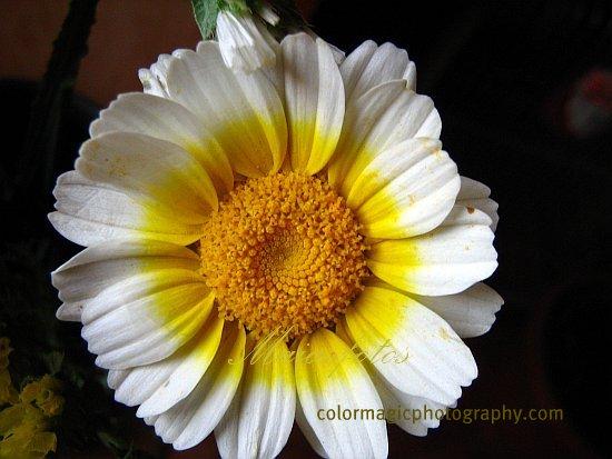 Chrysanthemum Coronarium flower-Glebionis coronaria