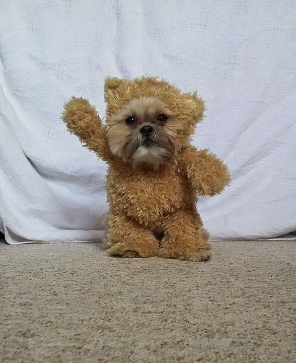 Teddy Bear Suit, puppy, dog, Shih Tzu
