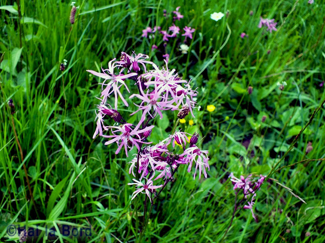 flori violet covasna