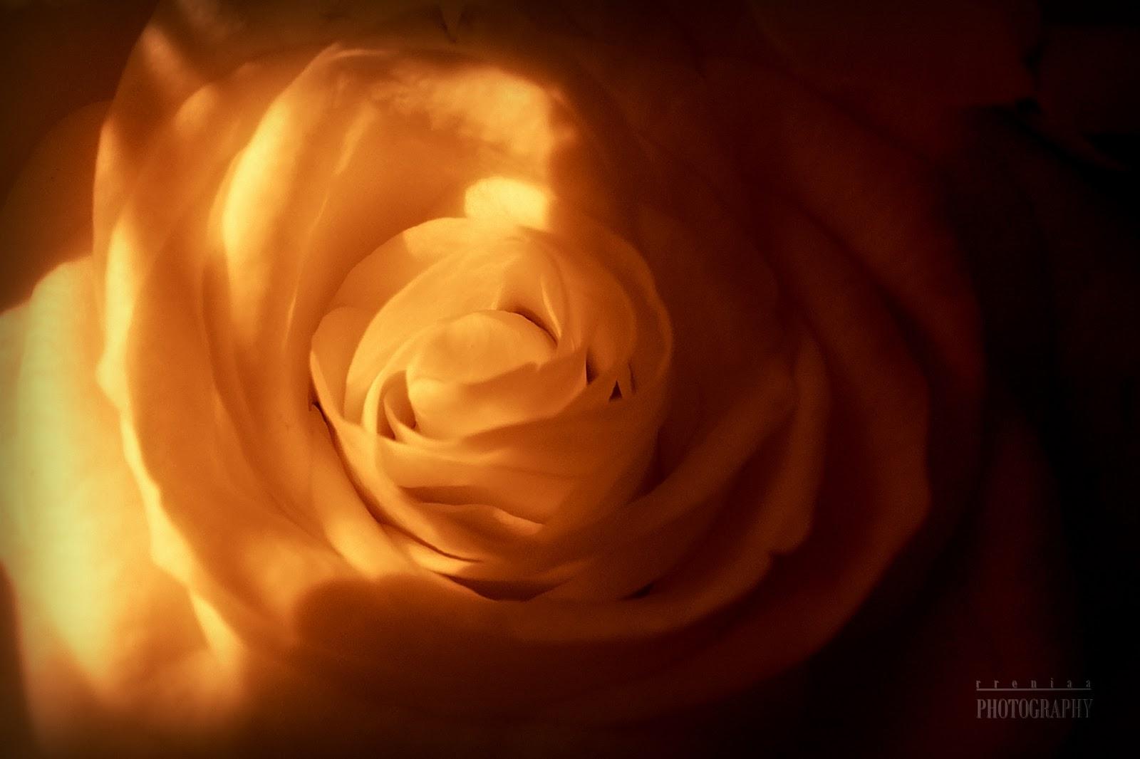rreniaaphotography, róże, roses