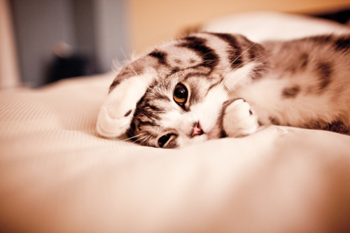 Kucing Imut lagi tiduran