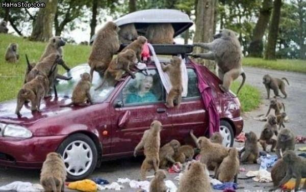 Saat monyet jadi troris nyandra mobil