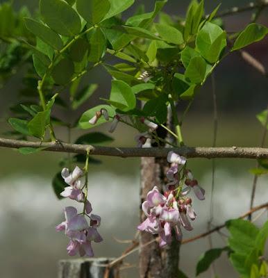 Quickstick (Gliricidia sepium)