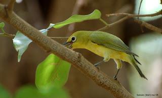 Kekurangan dan Kelebihan Burung Pleci dada kuning