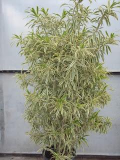 tanaman dalam ruangan berdaun lebat song of india