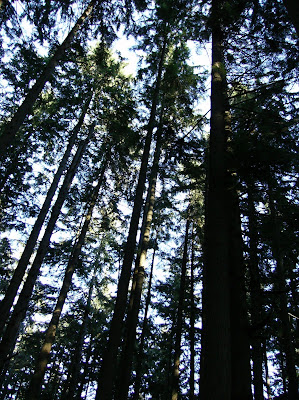 Tall straight coniferous trees reach for the skies