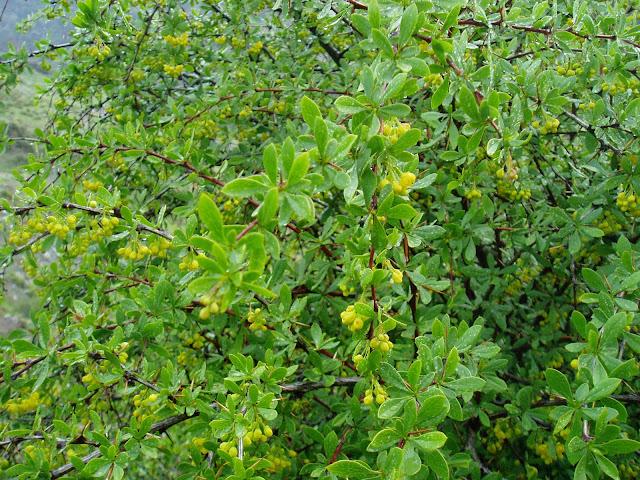 AGRACEJO: Berberis vulgaris