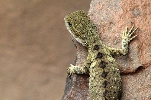 Reptiles - Lagartija - Lizard (1920x1200 wallpaper)