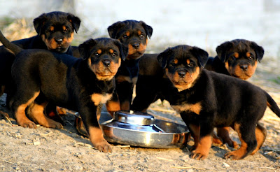 German Rottweiler Puppies.png