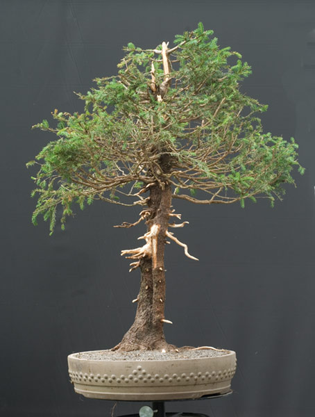 Walter pall bonsai adventures european spruce 45 for Most expensive bonsai tree ever