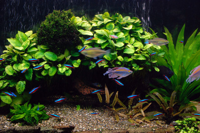 Tropical Fish Freshwater : ... fresh water tropical fish, fresh water aquarium plants, tropical fresh