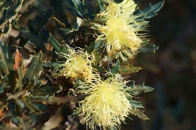 Pingle (Banksia (Dryandra) squarrosa)