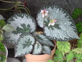 Jardineria, Catalogo de Plantas: Begonia Rex