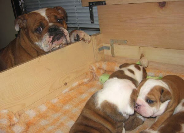 Cute dogs (50 pics), dog pictures, proud mommy bulldog and her puppies