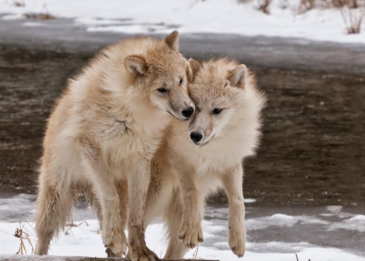 Arctic Wolf #13