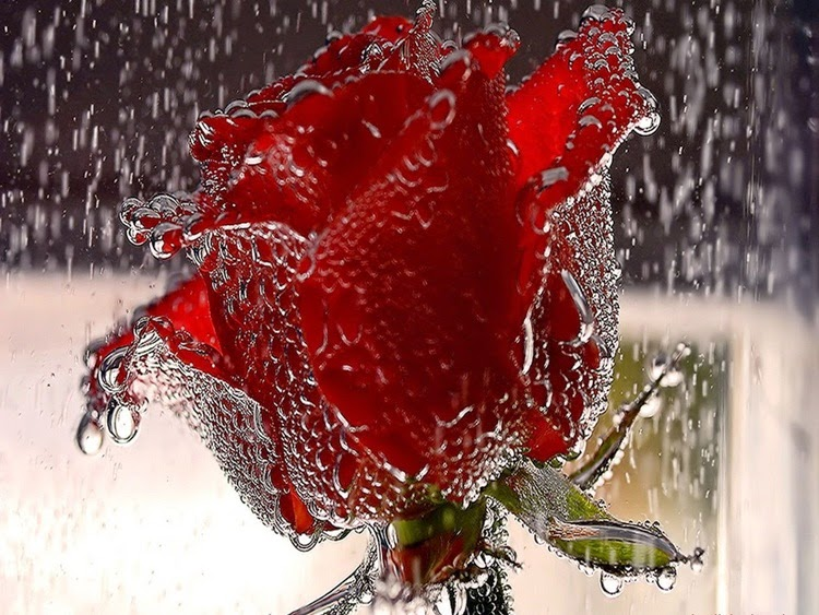 Red Rose In Rain