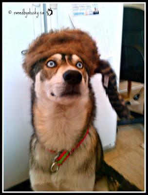 My funny Siberian Husky