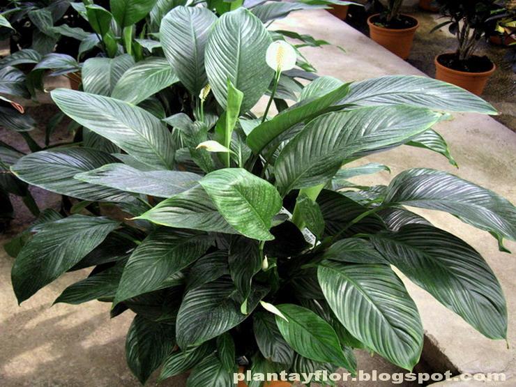 Plantas y flores spathiphyllum wallisii - Plantas de sol directo ...
