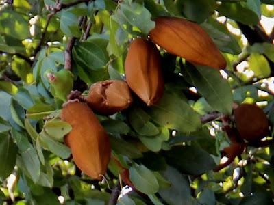 Monguba - Entre as folhas o periquito me via, mas, eu não pude perceber.