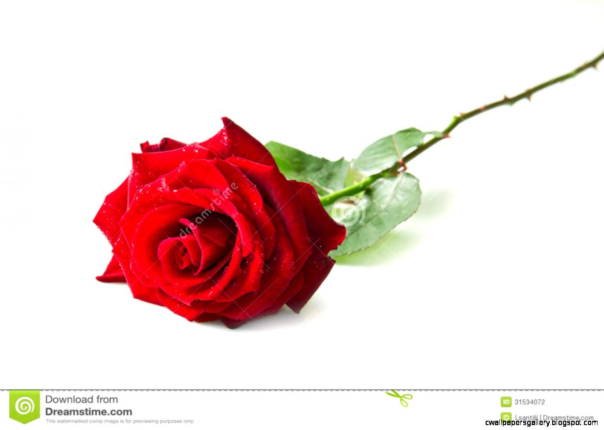 Single Red Rose Flower Stock Photo   Image 39392083