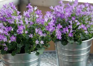 Blommor, murklockor, zinkkruka