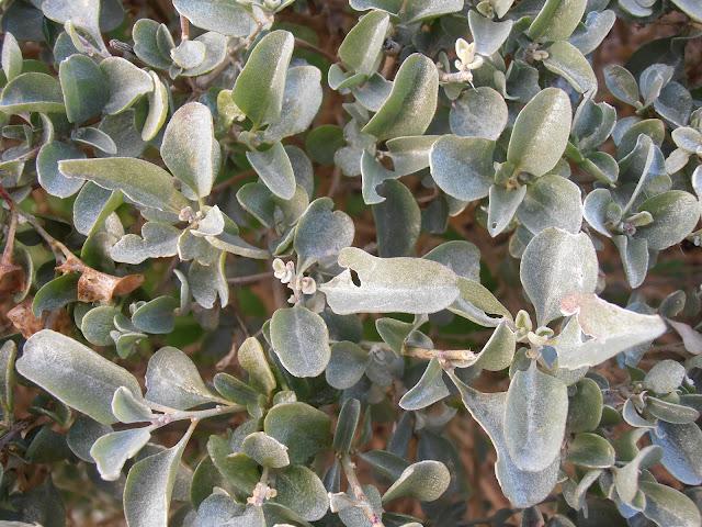 OSAGRA:  Atriplex halimus