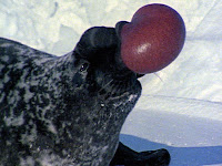 Male hooded seal with an inflated balloon