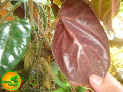 FOTO 2 : Permukaan daun sirih merah bagian bawah