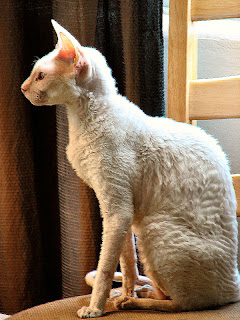 Gambar Kucing Cornish Rex