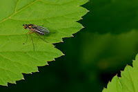 Long-legged fly (Dolichopodidae)?