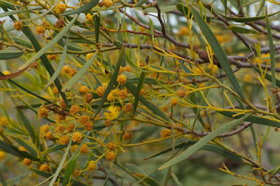 Blakely's Wattle (Acacia blakelyi)