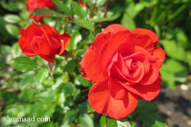 урожай, август, аленин сад, роза