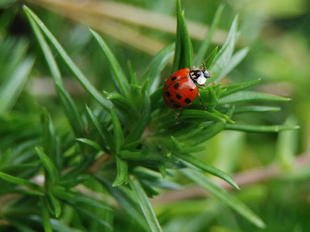 A lady bug visits the creeping phlox.