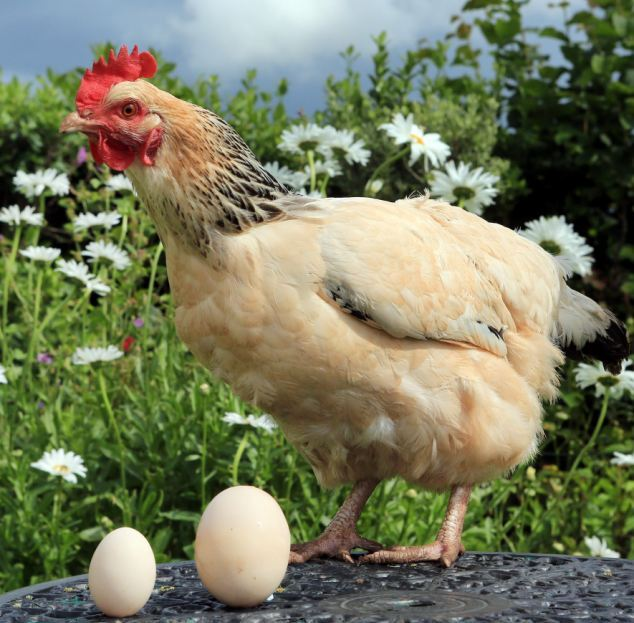 Extraordinary Things, Amazing Hen, World's Biggest, Sussex Hen, Guinness World Record, Biggest Eggs, Tasty Chicken, Egg Recipes, Chicken Dishes, Healthy Breakfast, Omelet, Poultry Farm, Weird Things