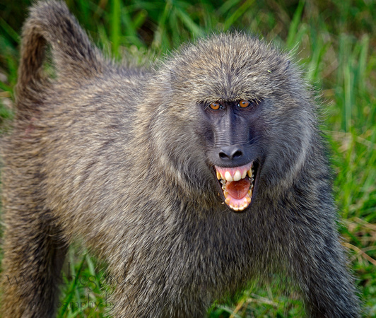 All About Animal Wildlife: Baboon Animal Facts Photos And
