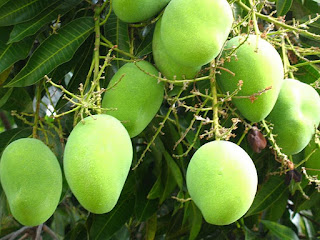a bunch of young mangoes