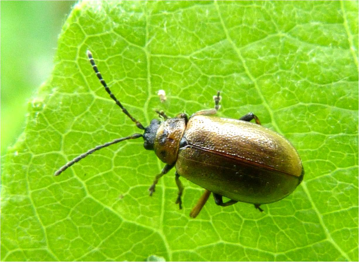 Leaf Beetle Insects of Scotland: O...