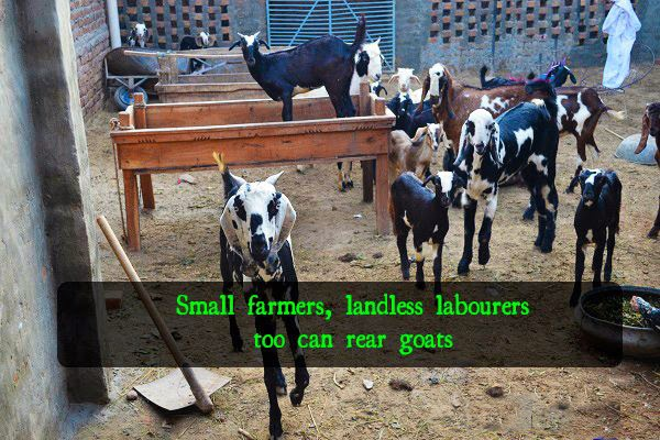 Small farmers, landless labourers too can rear goats