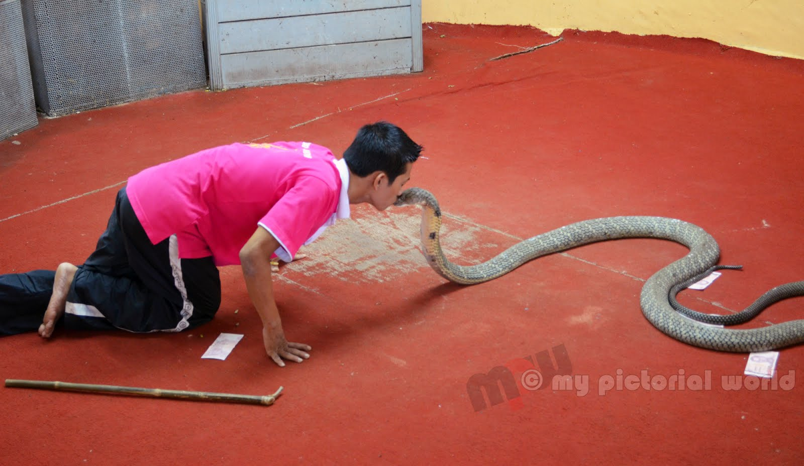 Kissing-A-King-Cobra-Phuket-Cobra-Show