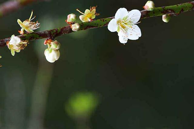 white flower, plum blossom, branch, tree