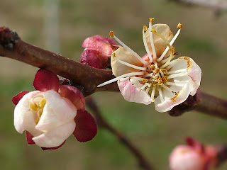 Fruit tree blossom, Bulgaria