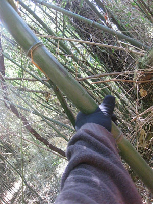 huge bamboo growing in the united states climate zone west virginia temperature
