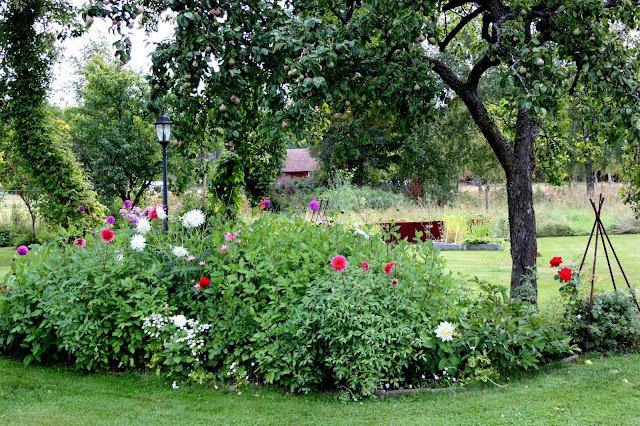 trädgård med dahlior