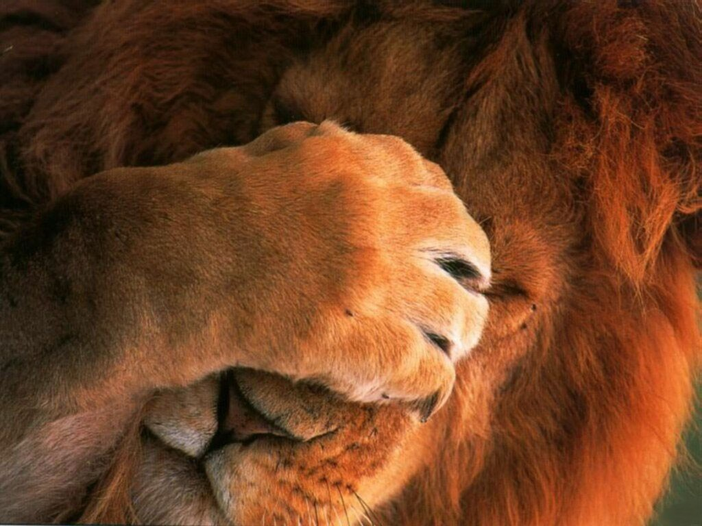 Live Me Alone Lion 1 6859HHAFLR 1024x768