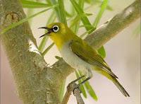 Tips Cara Merawat Burung Pleci/Kacamata Agar Cepat Gacor